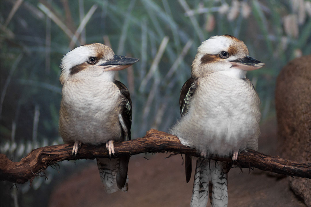 'Laughing Kookaburras' by Jonathan Kriz, flic.kr/p/VpwndS, Creative Commons Attribution 2.0